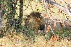 Lion in Botswana Royalty Free Stock Image