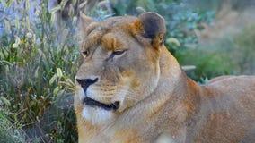 Lion breath. stock video footage