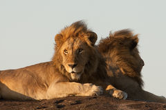 Lion brothers royalty free stock photos