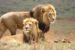 Lion Brothers Stock Photography