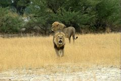 Lion brothers. Lions are looking for some fun - South Africa Stock Images