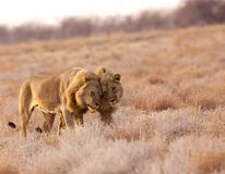Lion brothers greet each other stock photo