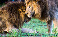 Lion brothers Royalty Free Stock Photo