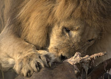 Lion at buffalo carcass Royalty Free Stock Photos