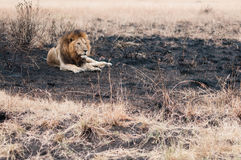 Lion in a burned field. Male lion lie down in a burned field after small wildfire at Serengeti national park, Tanzania Stock Photo
