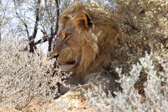 A lion in the bush at kgalagadi Royalty Free Stock Photos