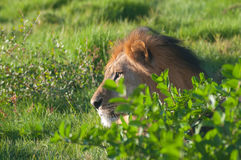 Lion in bush. Male lion in bush from profile royalty free stock photography