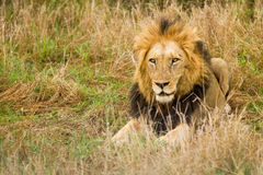 Lion in the Bush in South Africa Royalty Free Stock Photography