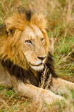 Lion in the Bush in South Africa Royalty Free Stock Images