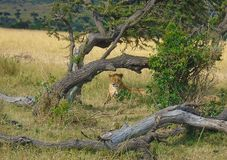 Lion busking under a tree trunk. Nature landscape of a lion busking under a tree trunk stock photo