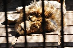 A lion in the cage. A lion staring at the camera through the cage Royalty Free Stock Photo