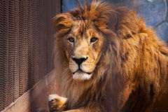 Lion in cage Stock Photography