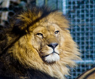 Lion in cage Stock Image
