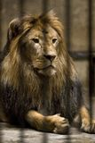 Lion in cage Stock Photo