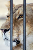 The lion in a cage. And watching you in the zoo Stock Photography