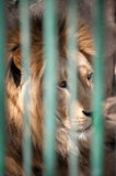 Lion in a cage Royalty Free Stock Photo