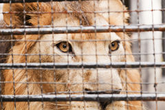 Lion in a cage Stock Images