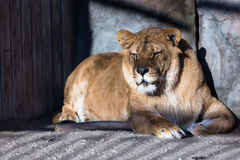 Lion in cage. Having rest Royalty Free Stock Image