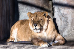 Lion in cage. Having rest Stock Photos