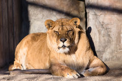 Lion in cage. Having rest Royalty Free Stock Images