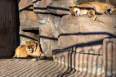 Lion in cage. Having rest sleeping Stock Images