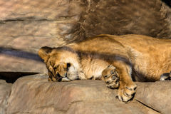 Lion in cage. Having rest sleeping Royalty Free Stock Images
