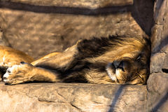 Lion in cage. Having rest sleeping Royalty Free Stock Photo