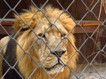 Lion in the cage Royalty Free Stock Image