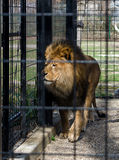 Lion in a cage Royalty Free Stock Images