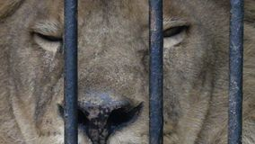 Lion in the cage. Super slow motion 1000 fps stock video footage