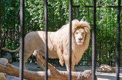 Lion in a cage in Yalta zoo Stock Images