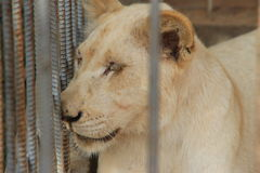 Lion in the cage. In the zoo Royalty Free Stock Images