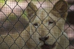 Lion in the cage Stock Photography