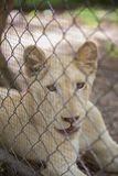 Lion in the cage Royalty Free Stock Photography