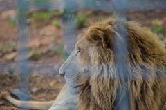 Lion in the cage Royalty Free Stock Images