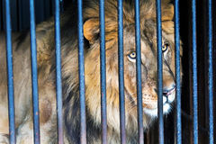 Lion in a cage zoo. Lonely wild cat lion in a cage zoo Stock Image