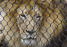 Lion Caged. A male lion looks out from behind a metal fence Royalty Free Stock Photography