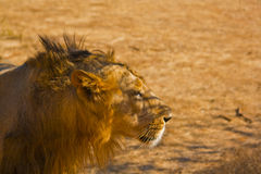 Lion in camouflage ready to hunt Royalty Free Stock Image
