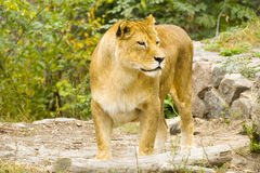 Lion in captivity. Large old lioness is in the enclosure of zoo stock photography