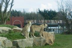 Lion in captivity Stock Image