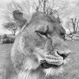 Lion in captivity Stock Images