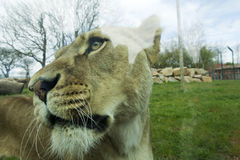 Lion in captivity Royalty Free Stock Images