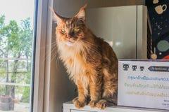 Lion Cat auf dem Selbst Lizenzfreie Stockbilder