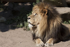 Lion cat Royalty Free Stock Image