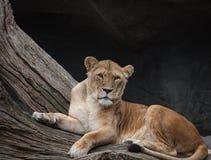 Lion, Cat, Dangerous, Lion Females Royalty Free Stock Photo