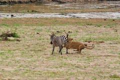 Lion catching a zebra Stock Photo