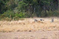 Lion Catching Zebra i Kenya Afrika Arkivfoton
