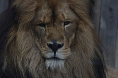 Lion. Caught this loin giving a little smerk Stock Images