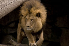 Lion in cave Stock Photography