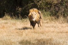 Lion on the charge Royalty Free Stock Photography